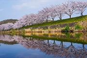 美しき桜の水鏡